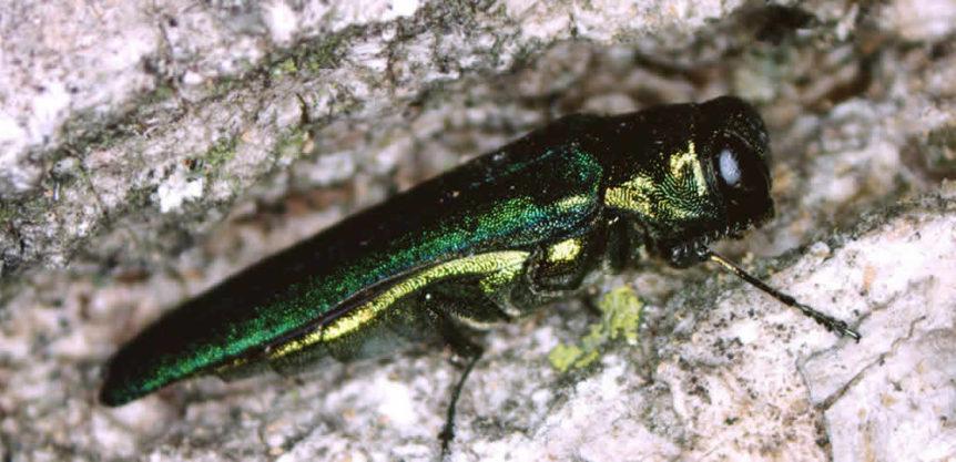 Emerald Ash Borer Wisconsin