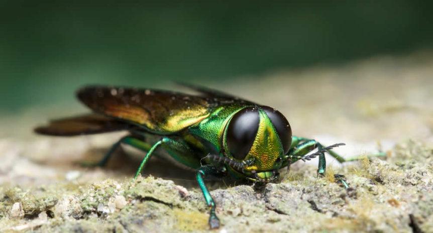 Emerald Ash Borer Treatment