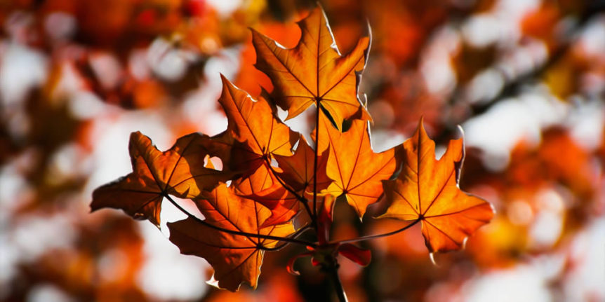 Tree Fertilizer in Fall - Maple Leaves in Autumn