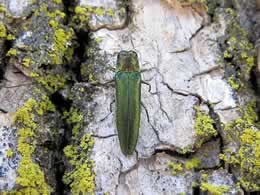 Emerald Ash Borer treatments