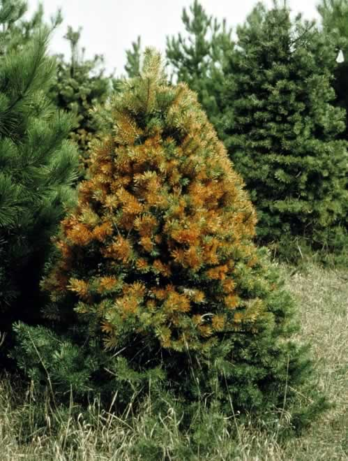 Diseased Evergreen Tree