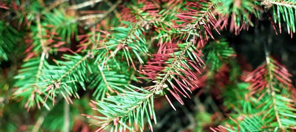 Needle Cast on Douglas Fir Tree