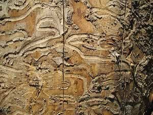 Emerald Ash Borer galleries