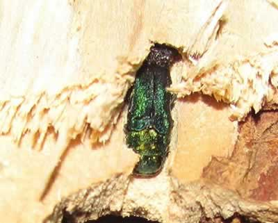 Emerald Ash Borer in Firewood
